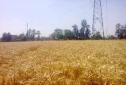 شؤم الانقلاب.. انخفاض متوسط إنتاج القمح بالفيوم