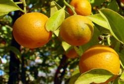 البرتقال واليوسفي.. فوائد عديدة