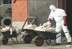 إخوان المنصورة يتصدون لمواجهة وباء أنفلونزا الطيور