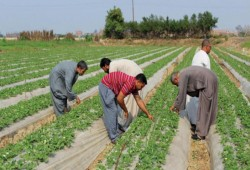 تجميد عمل نقابة الفلاحين لتجاهل حكومة الانقلاب معاناة المزارعين
